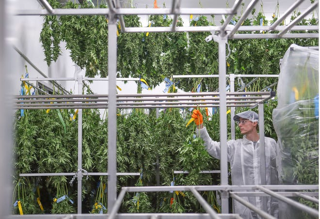 Jake Brown hangs cannabis plants to dry after a harvest at the Canndescent cannabis cultivation facility in Desert Hot Springs, Sept. 17, 2019.