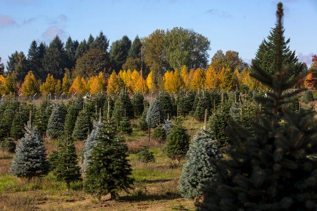 U Cut Christmas Trees.The History Of Palmer S Christmas Tree Farm A Popular U Cut