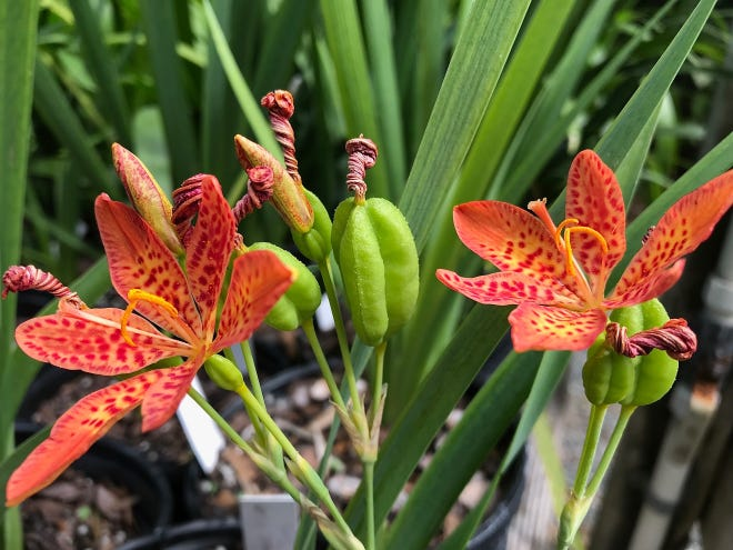 Blackberry Lily (Leopard Lily) is a striking, easily grown perennial of the Iris family with deep orange blooms heavily spotted with red.