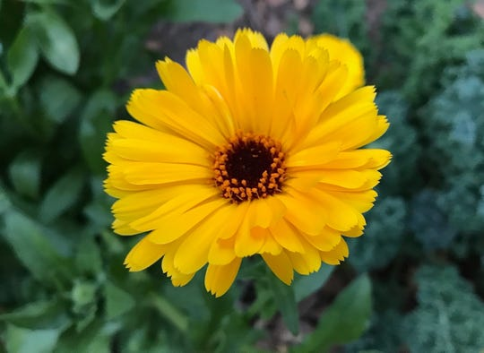 Calendula or Pot Marigold is a stunning and super easy to grow cottage annual flower that thrives in our winters. Great for containers and cutting, these disease-resistant plants produce edible blooms. Deer resistant!