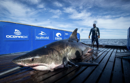 Unama'ki is a 2,076 pound, 15-foot, 5-inch white shark tagged Sept. 20 by OCEARCH.