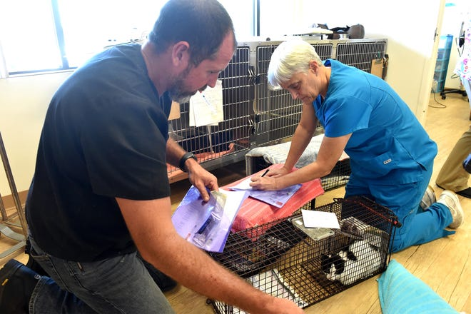 Surgical technician Michael Roberts (left) and Dr. Sara Mathews, of Dr. Dan's Animal Hospital in Vero Beach, go over a checklist of procedures for a pair of feral cats brought to their facility on Monday, June 18, 2018, in preparation for surgery. The cats are neutered, and receive a rabies vaccine, flea treatment, deworming, and having their ears tipped before being released back into the wild, as part a trap/neuter/return program to help prevent over-population.