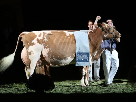 Taking the title of Reserve Supreme Champion of World Dairy Expo on Oct. 5, is Grand Champion of the International Ayrshire Show, De La Plaine Bingo Stinger, owned by Blue-Spruce Farm of Bridport, Vt.