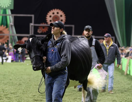 Winners in the Holstein show walk off the colored shavings at World Dairy Expo on Oct. 5.
