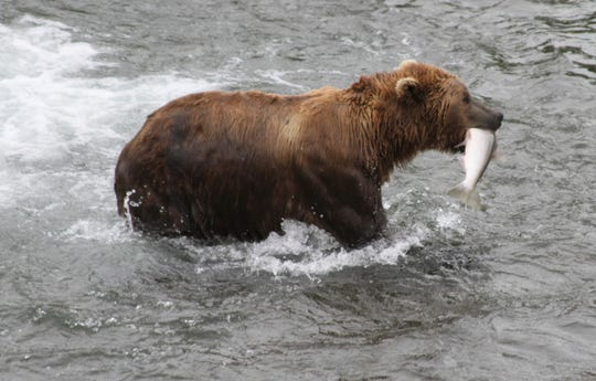 In this July 4, 2013, file photo, a brown bear walks to a sandbar to eat a salmon it had just caught at Brooks Falls in Katmai National Park and Preserve, Alaska.