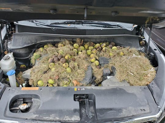 It took an hour for Chris Persic to clean the more than 200 walnuts and grass from under the hood of his wife's car.