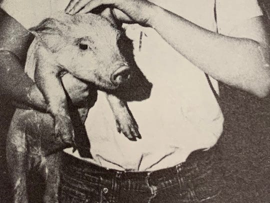 "The Hortonville piglet from ""Li'l Abner,"" which Microsoft president and Appleton native Brad Smith retrieved each evening for the play, as photographed in the 1977 Appleton West Clarion yearbook."