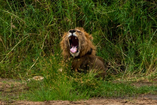 "In this Sunday July 7, 2019 photo, a young male lion yawns as he wakes up in Tanzania's Tarangire National Park. Across Africa, the number of lions has dropped by more than 40 percent in two decades _ putting lions on the list of species scientists consider ""vulnerable"" to extinction."