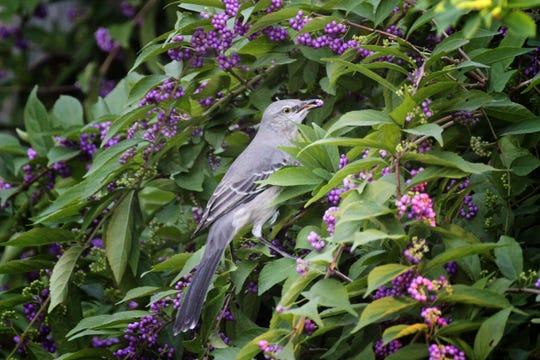 In winter, mockingbirds switch from nesting territory, jointly guarded, to feeding territory, individually guarded; and they switch their diets from bugs to berries, this one foraging in a beautyberry bush.