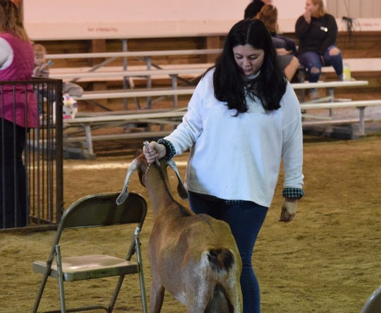 Hayley Richardson checks the dairy goat's stance during the Super Showmanship competition Thursday morning. Contestants are judged on their knowledge of the different animals and their ability to show them.