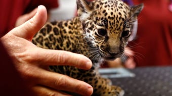 Jaguar Cubs born at the Memphis Zoo