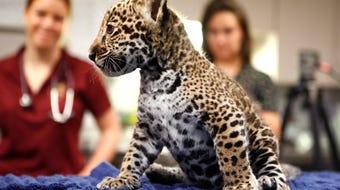 The Memphis zoo welcomes new jaguar cubs