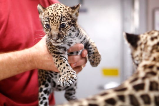 Two female jaguar cubs born at the Memphis Zoo five weeks ago receive a checkup on Thursday, Oct. 10, 2019. The cubs are tentatively due to be available for public viewing in the next month and zookeepers are looking for help from the public in naming the sisters.