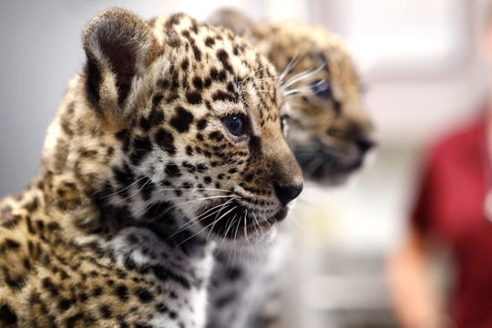 Two female jaguar cubs born at the Memphis Zoo five weeks ago receive a checkup on Thursday, Oct. 10, 2019. The cubs are tentatively due to be available for viewing in the next month and zookeepers are looking for help from the public in naming the sisters.