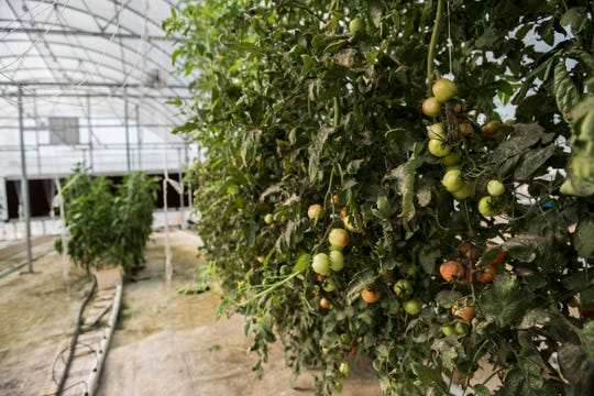 Tomatoes grow in the aquaponics greenhouse near Auburn University Campus in Auburn, Ala., on Wednesday, Sept. 11, 2019.