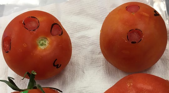 The ToBRFV tobamovirus was detected in tomatoes in Naples. The virus does not affect the health of consumers, but is a threat to Florida tomato growers.