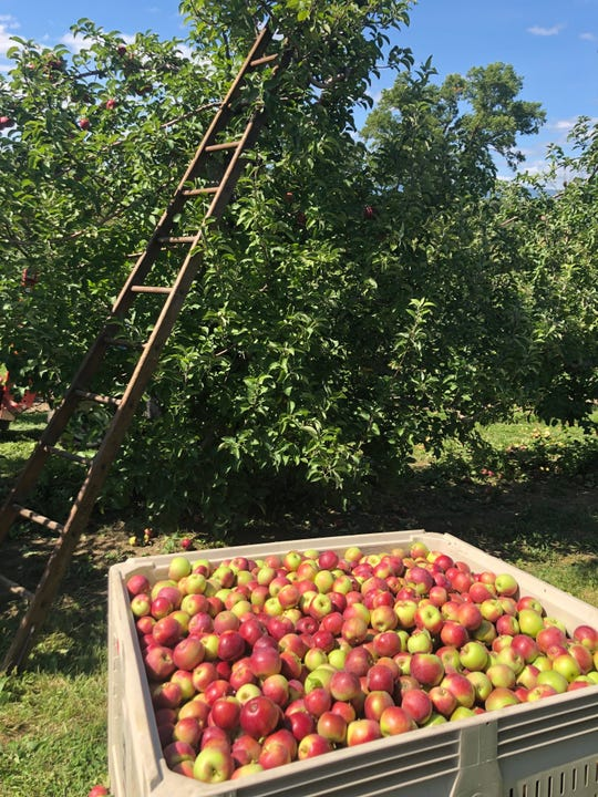 Apples harvested from Angry Orchard's orchard in Walden are featured in the company's new Farm Cider, a small-batch hard cider made at the site's Innovation Cider House.