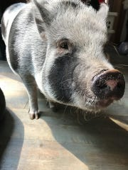 Kevin and LuLu, two potbellied pigs owned by Jessica Maul and her family.