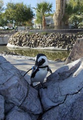 """FILE - In this photo taken Friday, Nov. 12, 2010, Charlie, a South African penguin, walks around his enclosure on Wayne Newton's estate in Las Vegas.The entertainer's lawyers are denying allegations of mismanagement, animal abuse and sexual harassment lodged in a lawsuit by a business associate, and responding with counterclaims alleging breach of contract and fraud. Documents filed Wednesday in Nevada state court label as """"scurrilous and scandalous"""" allegations in a lawsuit filed two weeks ago by the company that purchased rights to convert Newton's home into a tourist attraction. (AP Photo/Julie Jacobson)"""