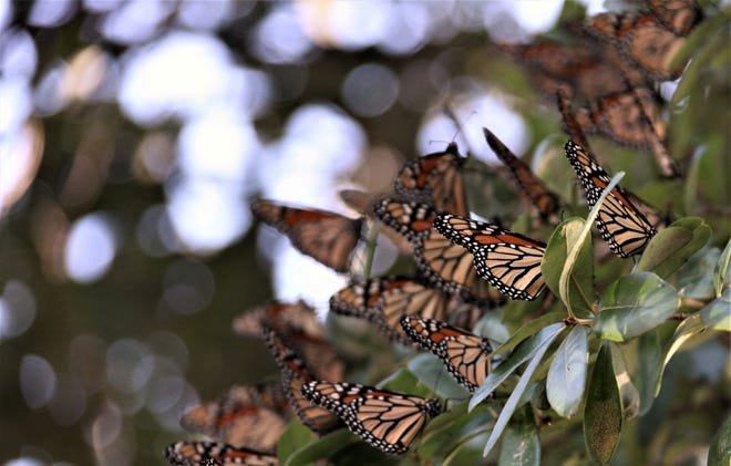 Monarch butterflies rest on a tree at a Lake Nasworthy home Tuesday, Oct. 8, 2019.