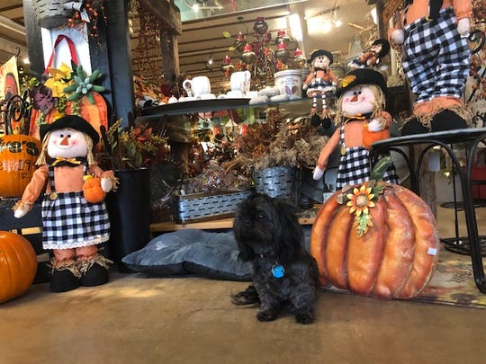 Olive, a 7-year-old Shih Tzu, waits by the door to greet customers at Olive's Nursery.