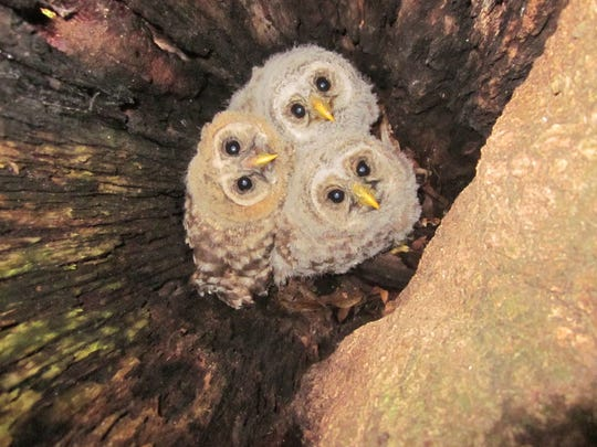 Barred owl nestlings in a rotted tree trunk.