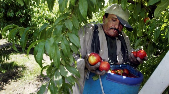 In this 2004 file photo, worker Roberto Rosiles picks fruit at a Sand Hills Farms orchard in Arvin. Rosiles was one of about 140 workers who were told by supervisors to flee the orchard after pesticide fumes from an adjacent field sickened 19 workers. The nation's most productive agricultural state moved Oct. 9, 2019, to ban chlorpyrifos a controversial pesticide widely used to control a range of insects but blamed for harming brain development in babies.