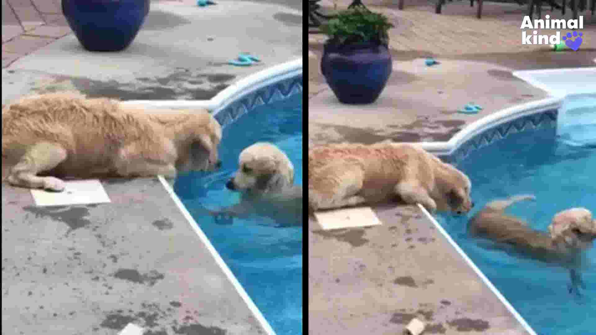 Golden Retriever teaches friend how to doggy paddle
