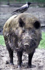 Invasive species such as the wild boar, shown here, impact various ecosystems all over the U.S., according to the Department of Agriculture.