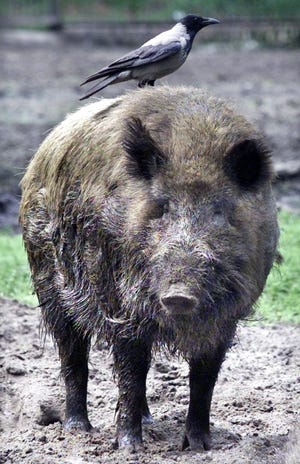 Wild boars free pair of fellow pigs caught in a fall