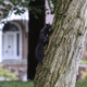 Why are there so many black squirrels in Battle Creek?
