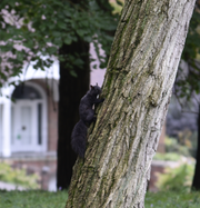 An eastern gray (black) squirrel climbs a tree in in the Merwood Neighborhood located on the northside of Battle Creek on Friday, Oct. 11, 2019.