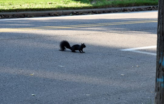 An Eastern Gray (black) squirrel crosses Garrison Avenue in Battle Creek on Wednesday, Oct. 9, 2019.