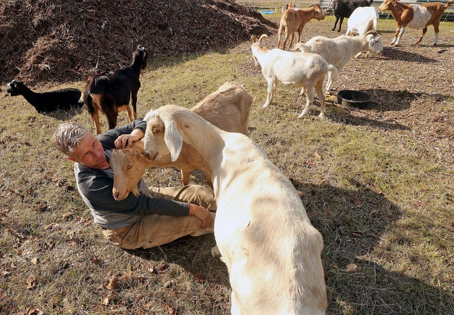Rent-a-Ruminant's Tammy Dunakin gets nuzzled by a pair of goats as the herd clears brush around the Koch Creek Regional Stormwater Facility project off Newberry Hill Road in Silverdale on Friday.
