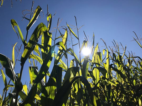 Corn stalks at Great Vermont Corn Maze. Danville, VT October 5, 2019