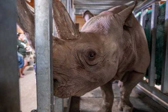 Doppsee, a rare black rhino, is pregnant at the Potter Park Zoo under close observation by MSU veterinarians.