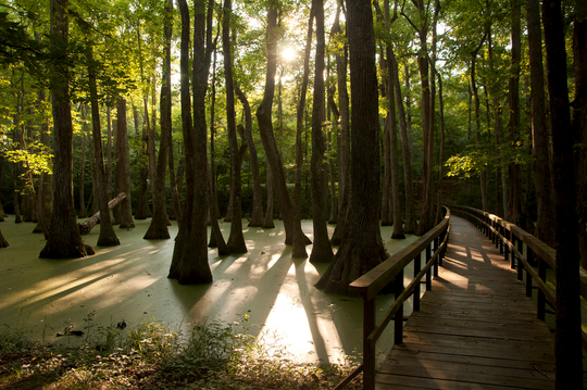 The Boardwalk Trail through Cypress Swamp along the Natchez Trace Parkway offers views of cypress trees and many nature sounds.