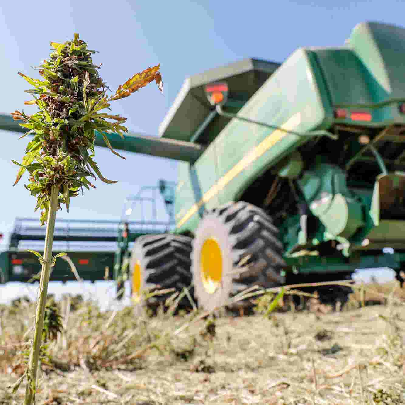 How this Indiana farm grows hemp for research