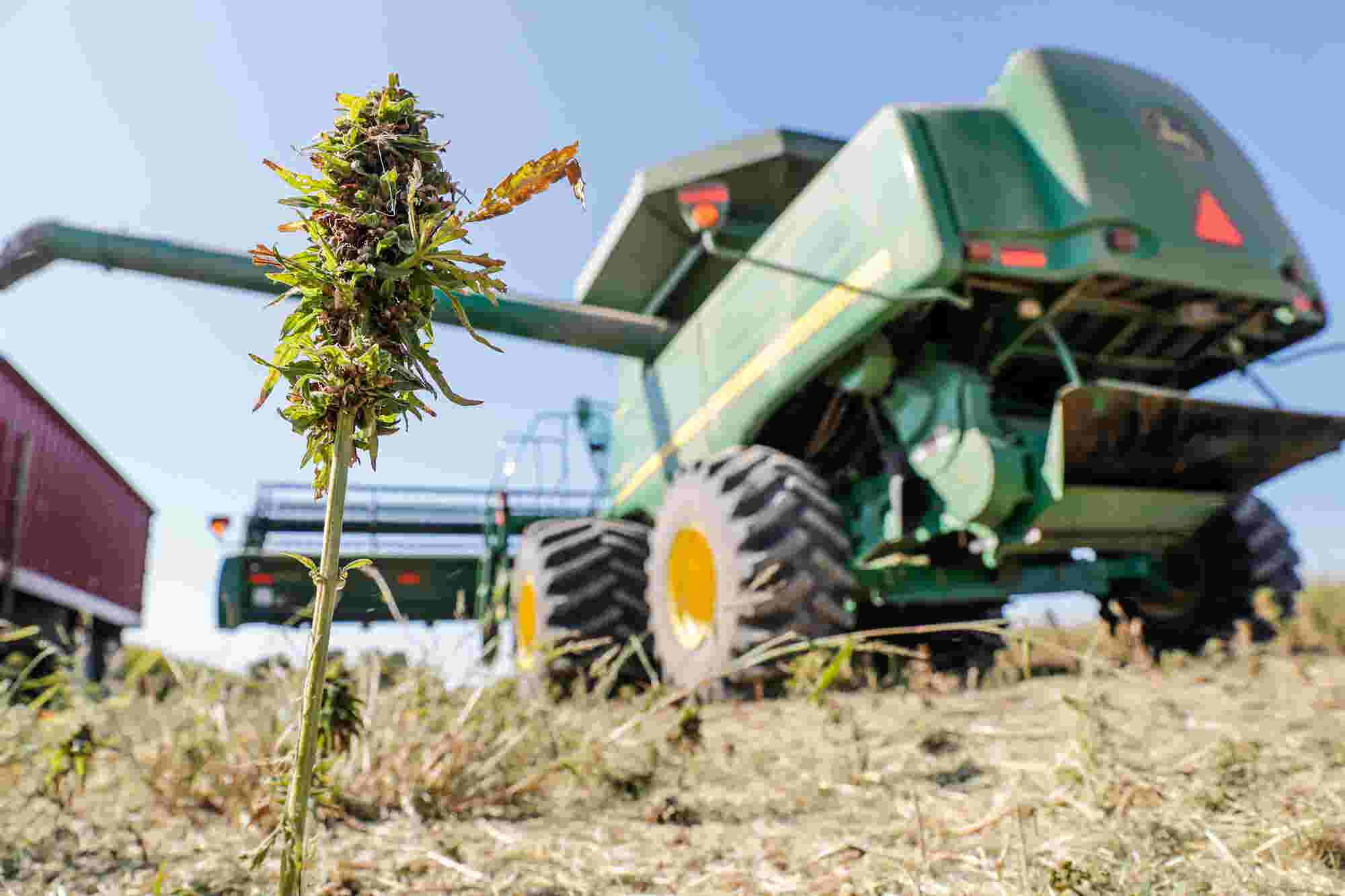 Inside the 'wild wild west' of Indiana's first major hemp harvest