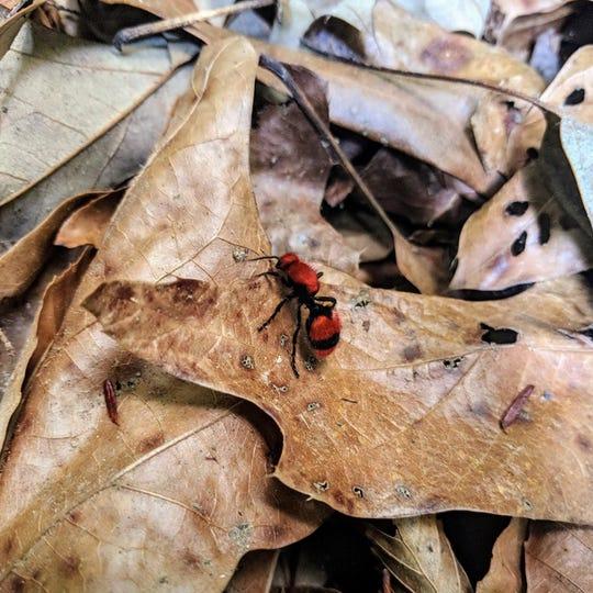 A female cow killer ant among leaf litter.