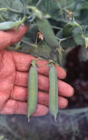 Get a head start on your spring plantings by preparing the soil now while it is workable. In March, poke pea seeds into prepared soil for fresh peas in June.