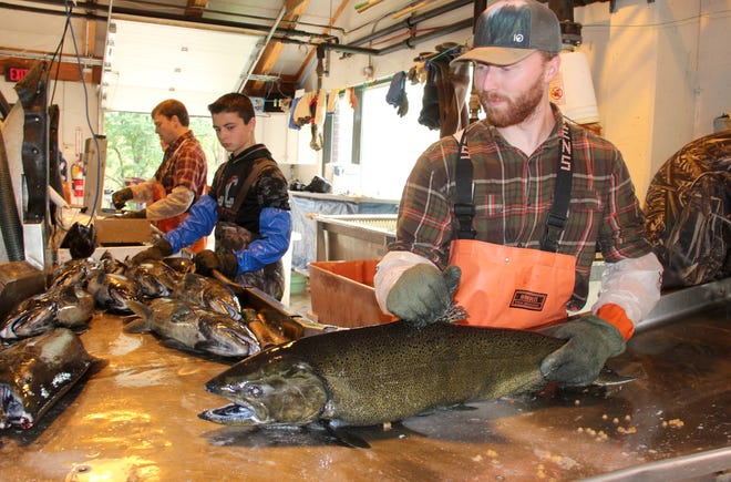 "Andy Gilsdorf, right, a Department of Natural Resources fisheries technician, guided a chinook salmon down a processing line at the C.D. ""Buzz"" Besadny Anadromous Fisheries Facility in Kewaunee, Wis. in Sept. 2019. The DNR uses the facility to collect eggs and milt from salmon and trout to supply the state hatchery system."