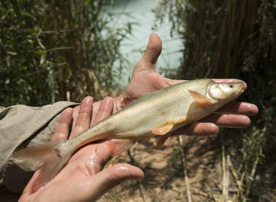 Randy Van Haverbeke, a Senior Fish Biologist with U.S. Fish and Wildlife, holds a humpback chub before releasing it back into the waters of the Little Colorado River near the confluence of the Colorado River in Grand Canyon National Park on May 20, 2018.