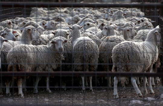 A flock of sheep are herded into a pen before they are sheared Monday, Sept. 30, 2019.