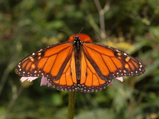 The monarch butterfly is one of the most distinctive and colorful insects that occurs in West Texas.