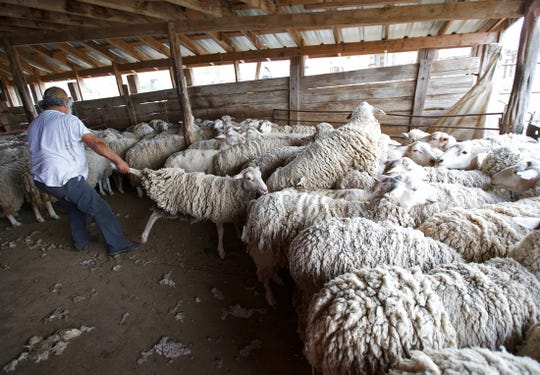 Pete Estrada removes a sheep from the flock to be sheared Monday, Sept. 30, 2019.