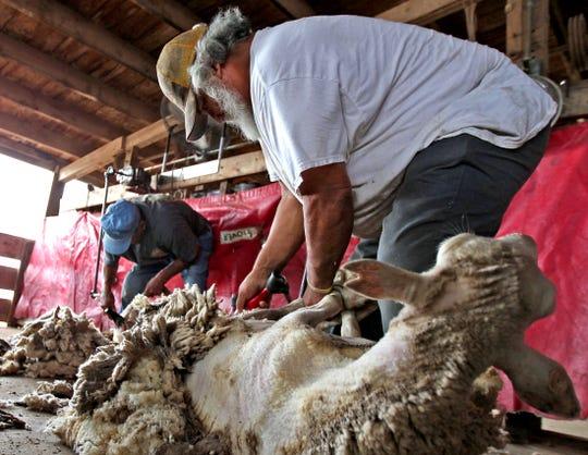Pete Estrada, center, and Severo Soto, left, shear sheep near a feedlot in San Angelo on Monday, Sept. 0, 2019.