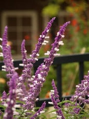 Mexican bush sage is a spectacular fall bloomer you can add to your landscape.