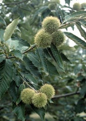 The burs of the Chinese chestnut tree.