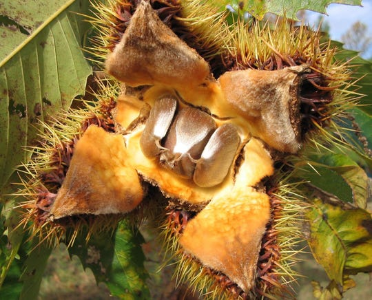 A close-up look at the fruit of an American chestnut tree.